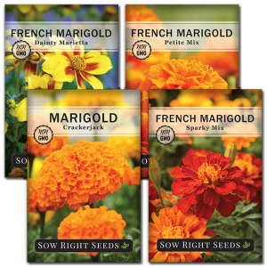 marigold seed collection