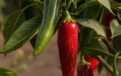 How to start peppers from seed