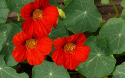 Edible flowers – Flowers you can eat straight from your garden