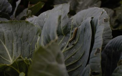 Worm Control: How to Get Rid of Cutworms, Cabbage Worms & Tomato Hornworms